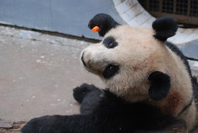 Mehr Große Pandas in Sichuan