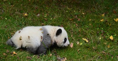 Giant Panda: Cheng Jiu