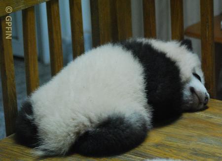 Große Pandas sehen immer gut aus