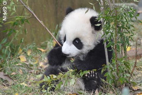 Wörterbuch & Großer Panda