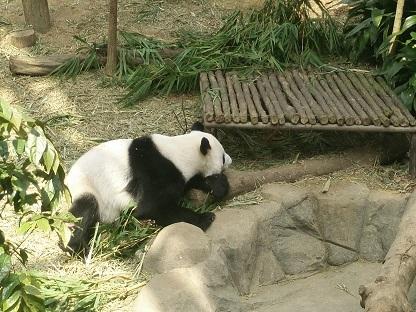 Großer Panda Kai Kai