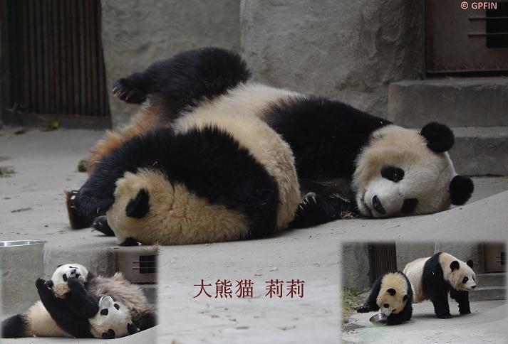 Vier Große Pandas umgezogen