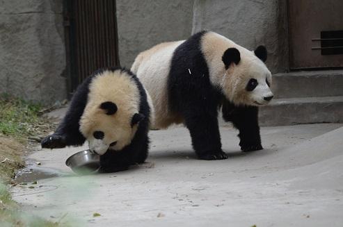 Große Pandas im Portrait: Li Li