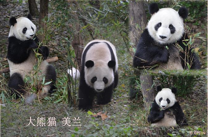 Impressionen – Chengdu Panda Base