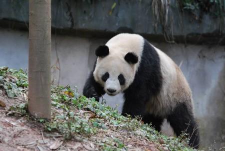 Große Pandas für Südkorea