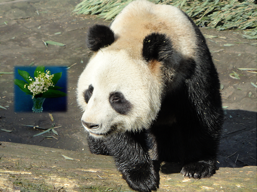 Giant Panda: 1. Mai
