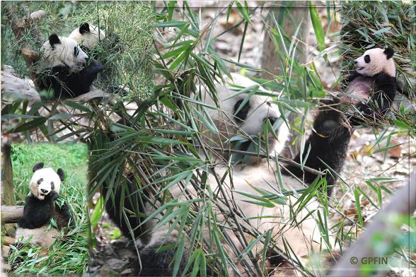 Genügend Bambus in Hubei
