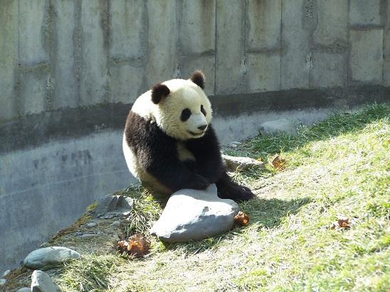 Große Pandas für Berlin