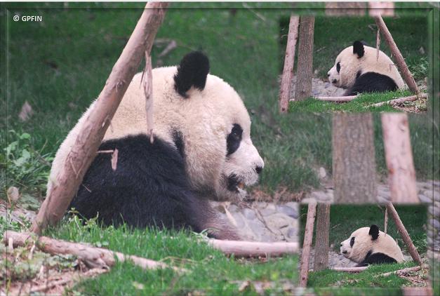 Giant Panda & Frosch