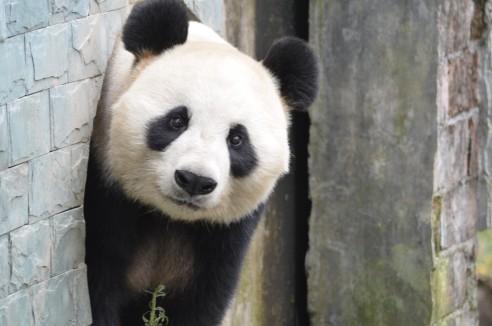 Neuigkeiten rund um Giant Pandas