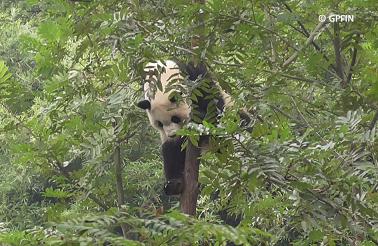 Notizen aus Giant Panda Welt