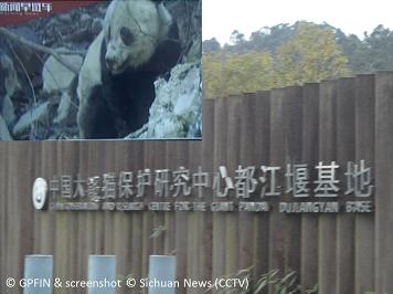 Über geretteten Großen Panda