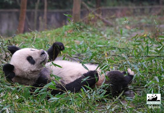 Liegend Bambus genießen