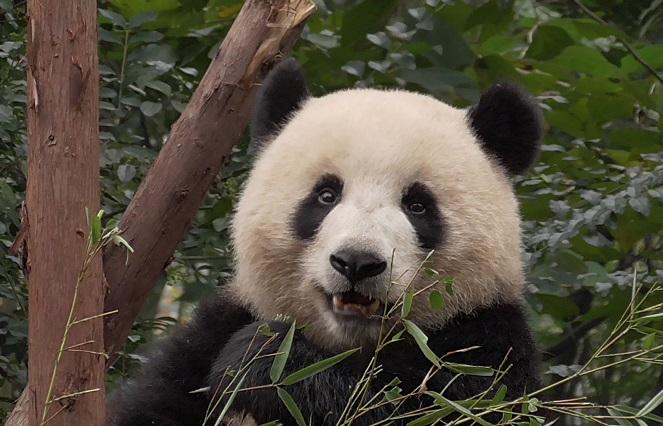 Bambus ist so lecker!