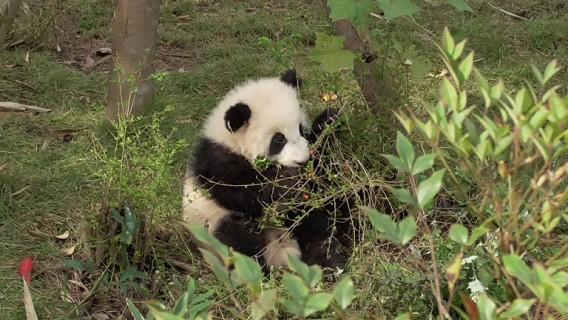 Großer Panda: 1. Lektion – Ast brechen