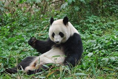 Neues aus World der Giant Pandas