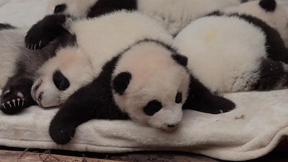Xin Xin ist Mama geworden