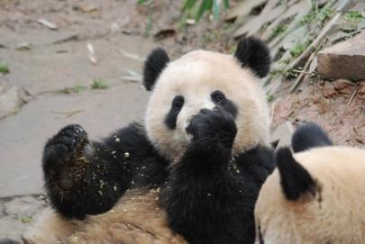 Ohren der Großen Pandas