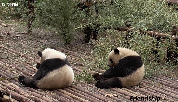 Große Pandas: Neues