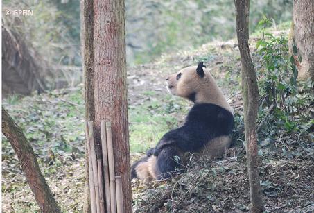 Giant Pandas Nachrichten & Zootage