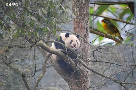 Giant Pandas: Chun Tian bei uns