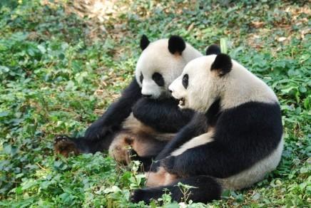 Aus Welt der Giant Pandas