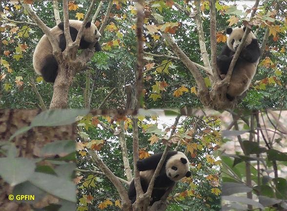 Große Pandas lieben Herbstzeit