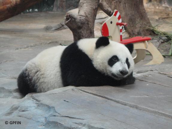 Sommer Eregnisse bei Großen Pandas