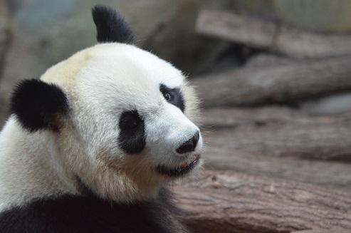 Huan Huan künstlich besamt