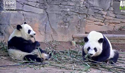 Mei Lun & Mei Huan verlassen Atlanta Zoo