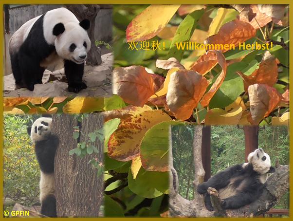 Giant Pandas: Herbst