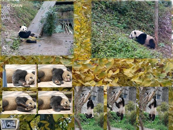 Giant Pandas: 中秋节快乐