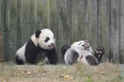 Neues von Giant Pandas