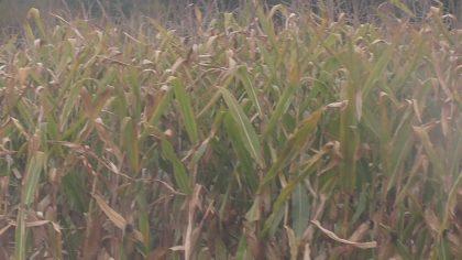 Leckere Maispflanzen