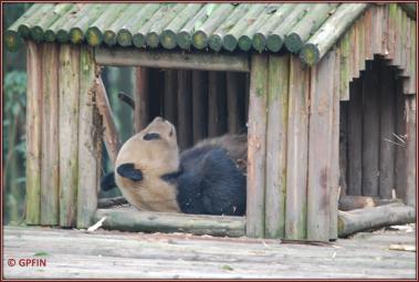 Giant Panda: Sommer