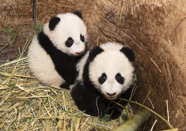 Fu Feng & Fu Ban sind 5 Monate alt