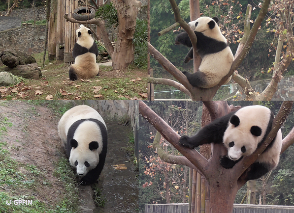 Giant Pandas: Schönbrunner-Bildband ist da!