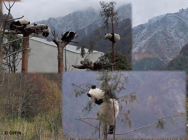 Pandas Wolong