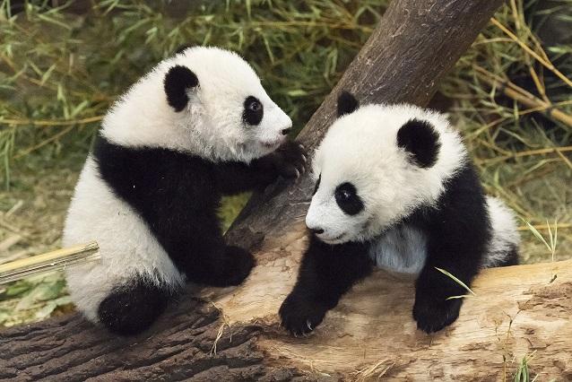 Fu Feng & Fu Ban entdecken Außenanlage