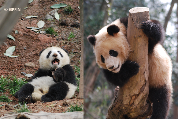 Giant Panda: Frühling
