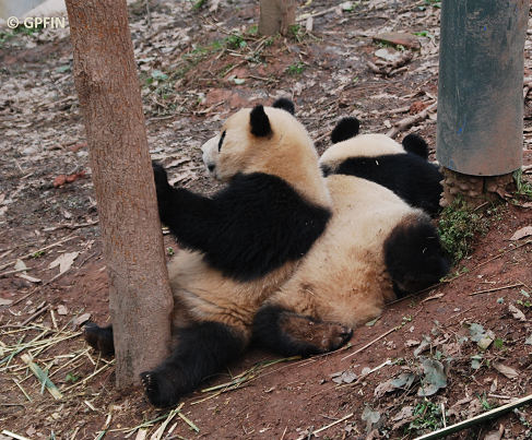 Giant Pandas: Tag der Freundschaft