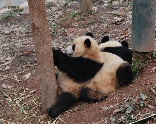 Giant Pandas: Tag voll Abenteuer