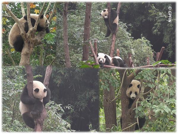 Giant Pandas: Tag des Baumes