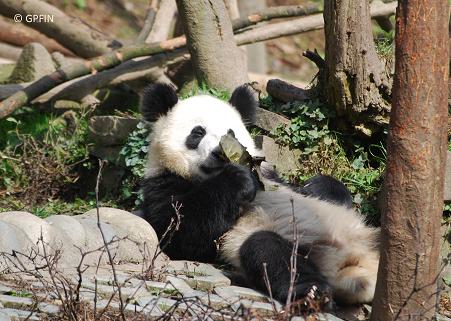 Giant Panda: Aus dem Fotoalbum