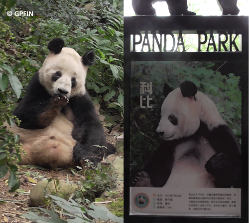 Giant Pandas: Qing Ming Fest