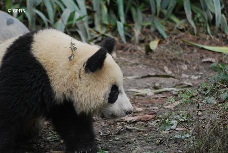 Giant Pandas: Malerische Landschaften