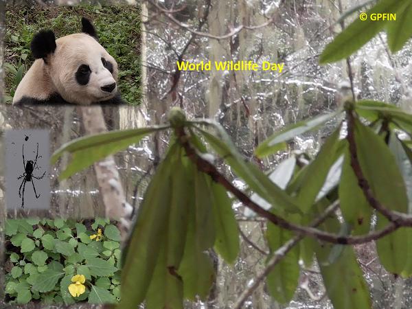 Giant Panda: World Wildlife Day