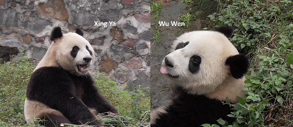 Wu Wen & Xing Ya kommen am 12. April an