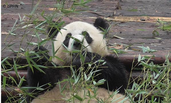 Giant Pandas: Plaudereien
