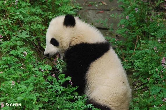 Bunter Frühling bei Großen Pandas